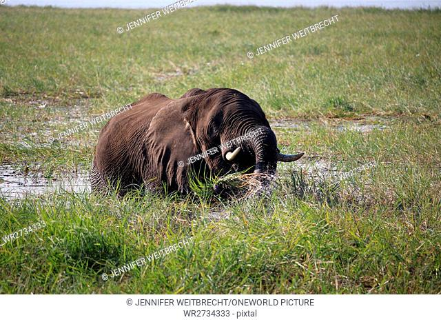 Botswana, Chobe National Park, Game Drive, Safari at the Chobe River, eating elephant in the water