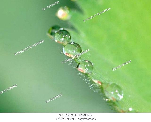 Regentropfen auf Alchemilla mollis