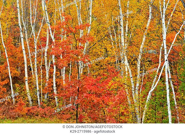 White birch tree woodland in autumn colour at Laurentian University grounds. Greater Sudbury, Ontario, Canada