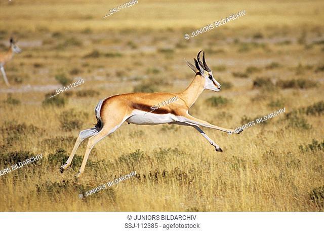 springbok / springbuck - running / Antidorcas marsupialis