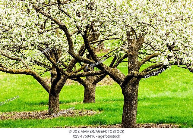 Three apple trees in bloom at the University of Minnesota Landscape Arboretum in spring