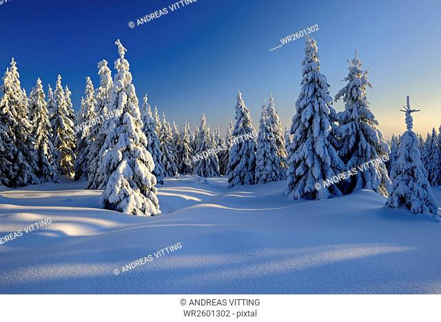 Winter landscape in evening light, snow covered spruces, Harz National Park, Saxony Anhalt, Germany
