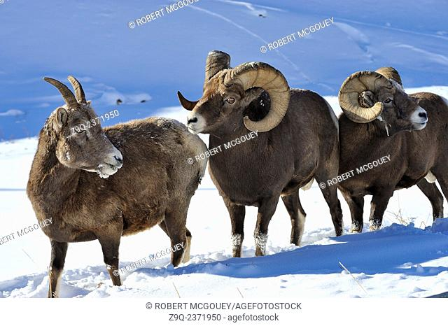 Two bighorn rams Ovis canadensis, follow a ewe during the rutting season in the rocky mountains of Alberta Canada