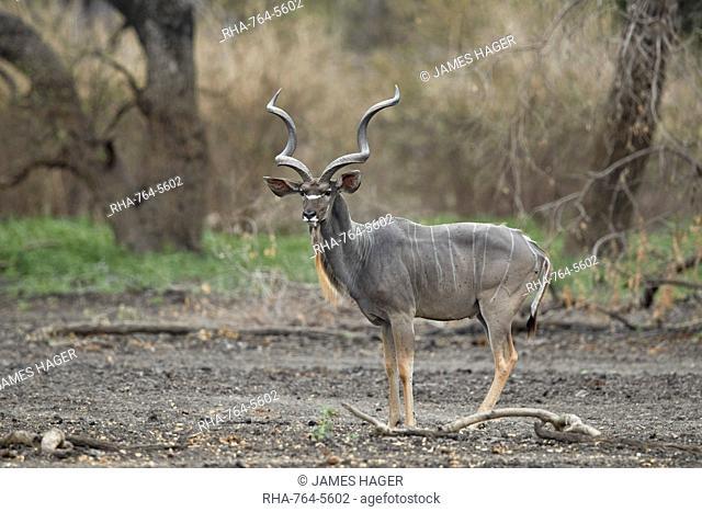 Greater kudu (Tragelaphus strepsiceros) bull, Selous Game Reserve, Tanzania, East Africa, Africa