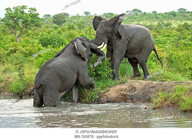 African Bush Elephant (Loxodonta africana), bulls fighting, Sabie Sand Game Reserve, South Africa