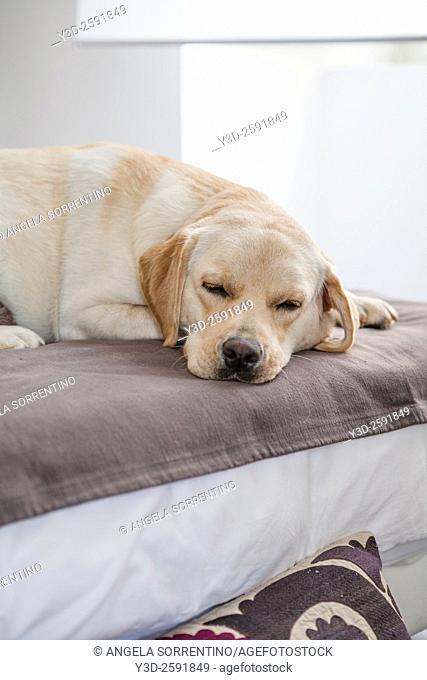Beautiful Labrador sleeping on sofa