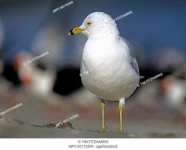 Ring-billed Gull (Larus delawarensis), North America