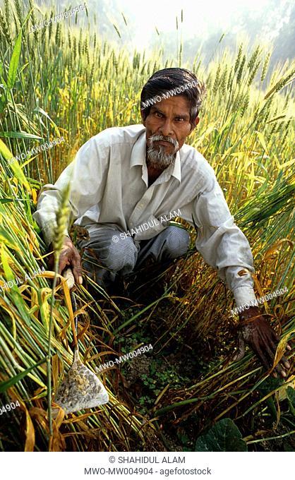 Nayakrishi new agriculture farmer Shona Mia weeding in his paddy field Gorashin, Tangail, Bangladesh 2001
