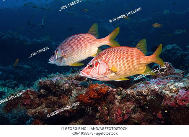 Pair of Sabre squirrelfish (Sargocentron spiniferum) over coral reef. Maldives