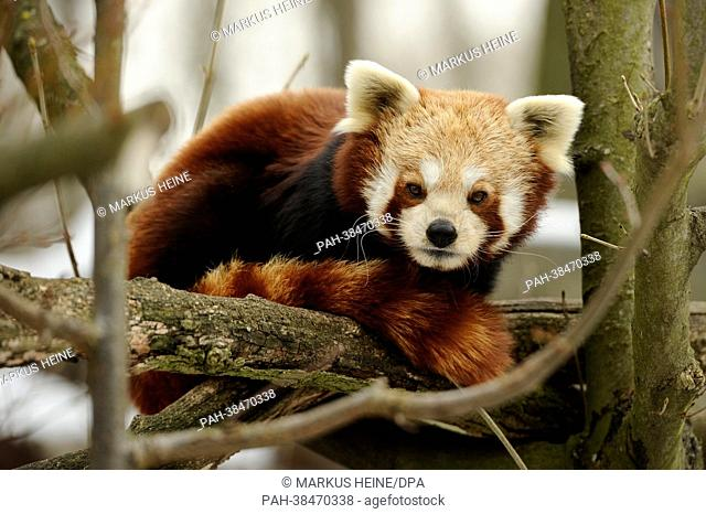 A red panda (Ailurus fulgens) lies on a branch in the Tierpark in Berlin,Germany, 28 March 2013. The species is listed as 'vulnerable' by the International...