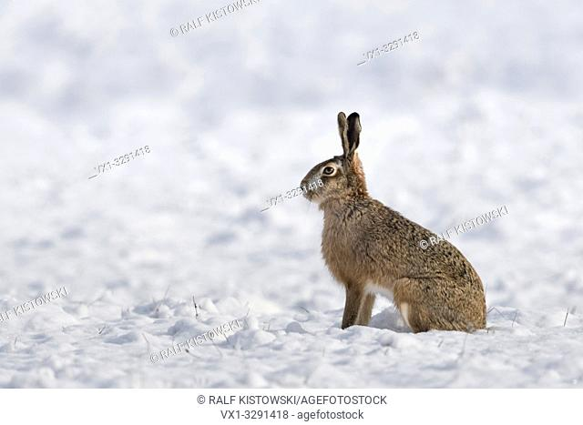 Brown Hare / European Hare / Feldhase ( Lepus europaeus ) in winter, sitting on snow covered farmland, watching attentively, wildlife, Europe