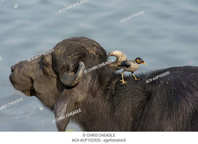 Water buffalo, Myna Bird on the Ganges River, Varanasi, formerly Benares, Uttar Pradesh, India