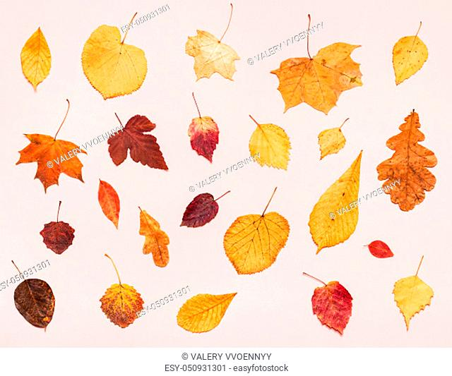 top view of various dried autumn fallen leaves on light pink pastel paper background