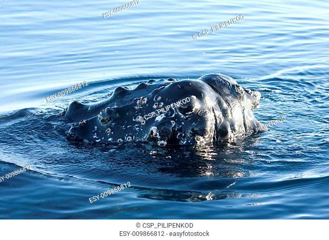 Humpback whale's head