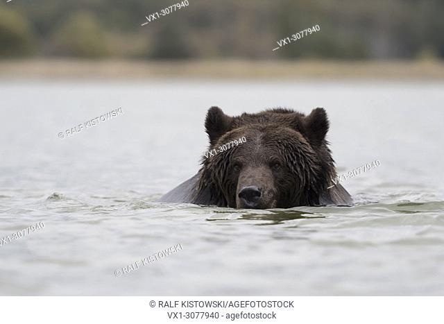 European Brown Bear ( Ursus arctos ) swimming, bathing, playing in water, in a lake, Europe