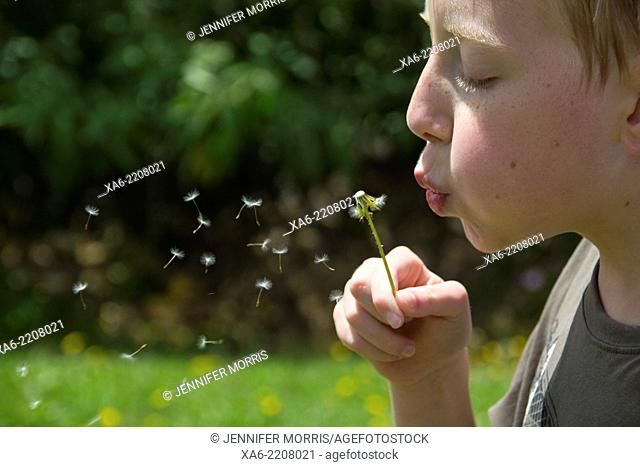A young boy blows a dandelion head and the seeds scatter