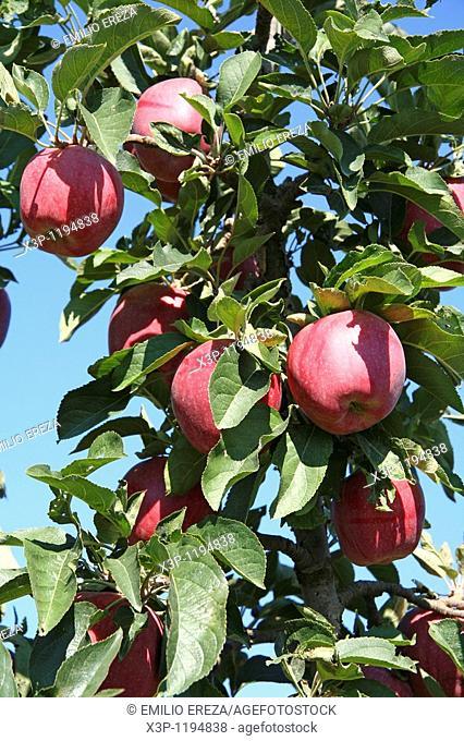 Apples 'red chief'  Mollerussa, Lleida, Catalonia, Spain