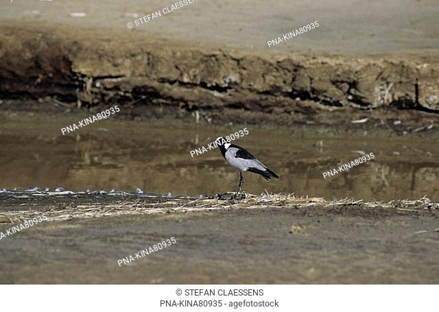 Blacksmith Lapwing Vanellus armatus - Lake Baringo, Kenya, Africa