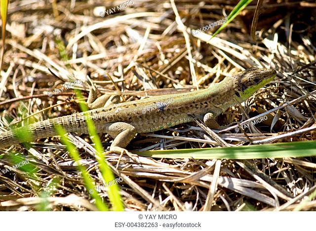 Balkan green lizard, Lacerta trilineata