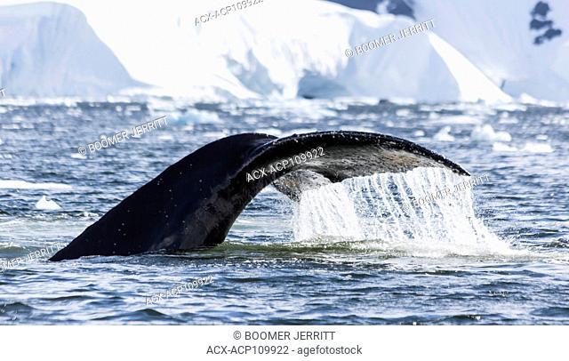 A Humpback Whales sounds in Wilhelmina Bay, Gerlache Strait, Antarctic Peninsula