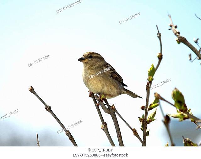 Sparrow on Lilac Bush
