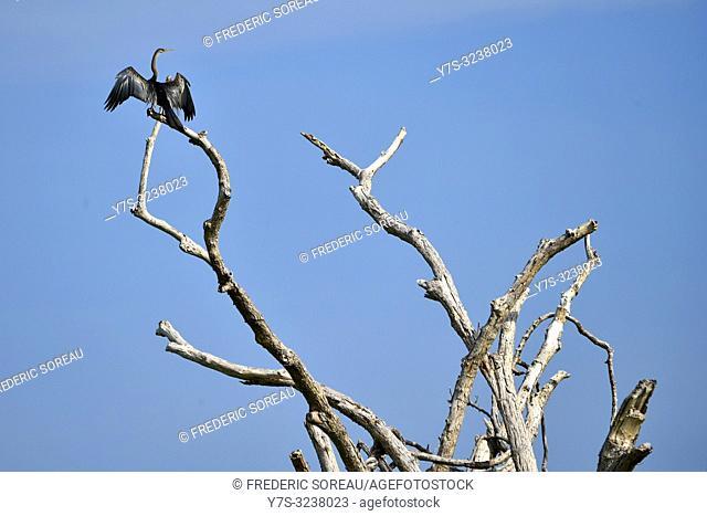 Glossy Ibis in flight,Prek Toal,Tonle Sap,Cambodia,South east Asia