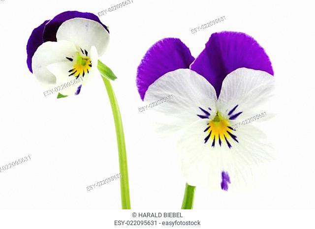 Hornveilchen (Viola cornuta, Stiefmütterchen)