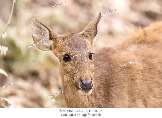 India, State of Assam, Kaziranga National Park, Hog Deer ( Axis porcinus or Hyelaphus porcinus)