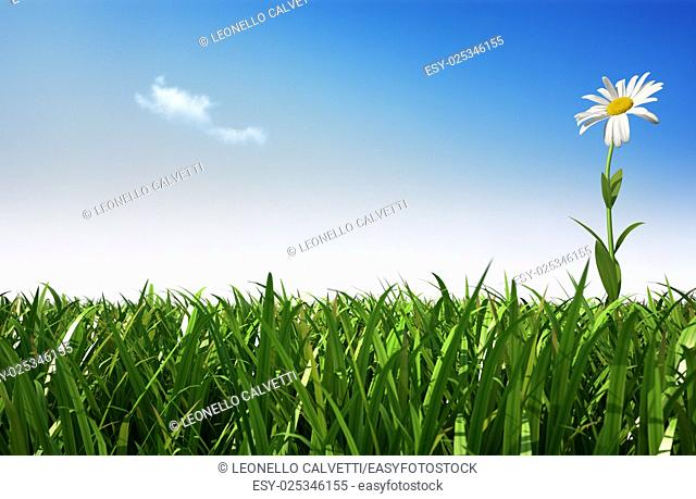 Isolated daisy flower, on the right hand side of the scene, in a very green grass meadow, viewed from a side, with close grass
