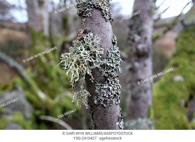 Green lichen moss on tree in woods in countryside in wales great britain uk