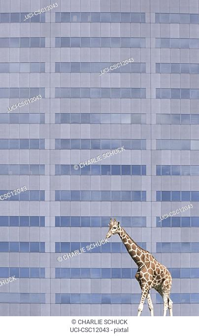 Giraffe walking by office building