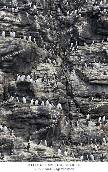 Guillemots on the cliffs, Isle of Lunga, Treshnish Isles, Scotland, Europe