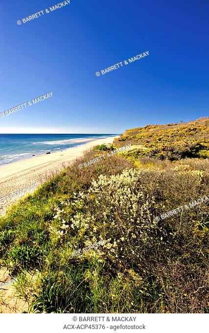 Beach Plum Prunus maritima, in bloom, Nauset Beach, Cape Cod National Seashore, Provincetown, Massachusetts, United States of America