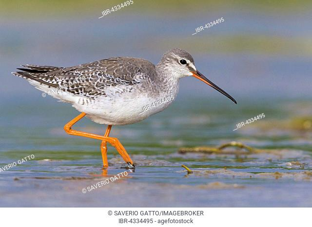 Spotted Redshank (Tringa erythropus), adult in winter plumage wading in the water, Capaccio, Campania, Italy
