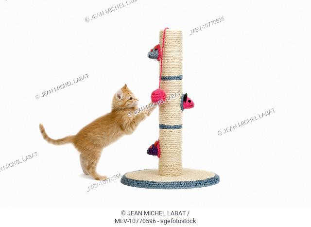 Cat - kitten on activity play centre / scratch post