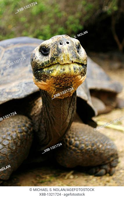 A head on view of a captive Galapagos giant tortoise Geochelone elephantopus being fed at the Charles Darwin Research Station on Santa Cruz Island in the...