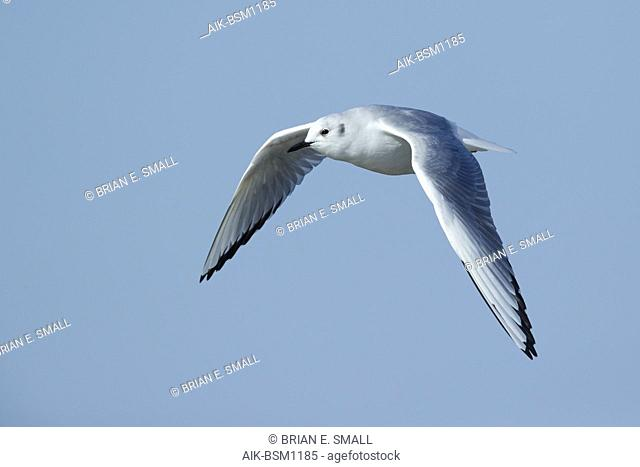 Adult Bonaparte's Gull (Chroicocephalus philadelphia) in non-breeding plumage at Cape May County, New Jersey, USA. Bird in flight against a blue background