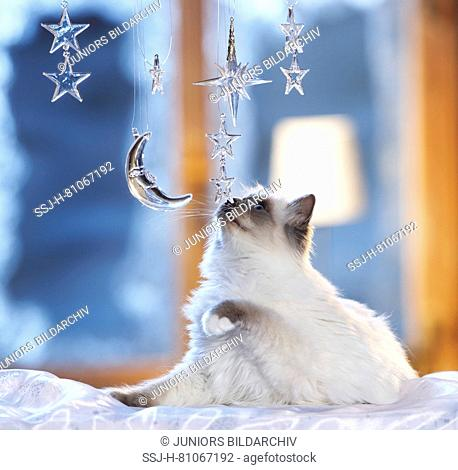 Christmas: Sacred cat of Burma playing with moon and stars made of glass in a festive decorated window. Germany