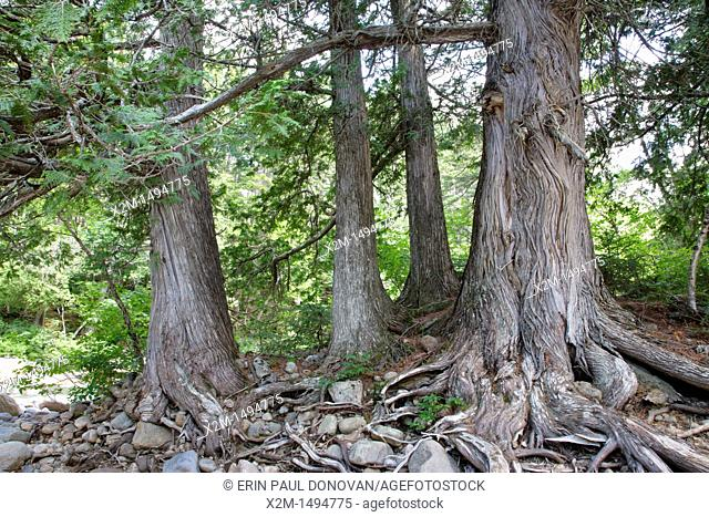 Northern white cedar Thuja occidentalis forest in the Pemigewasset Wilderness of the White Mountains, New Hampshire USA