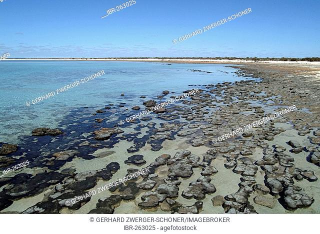 Stromatolites on the beach, Hamelin Pool Marine Nature Reserve, Shark Bay, Western Autsralia, Australia