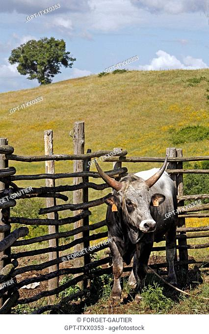 MAREMMA CATTLE FARM, AGRO-TOURISM, AGRITURISMO AIA DELLA COLONNA IS LOCATED IN THE HIGH MAREMMA, 10 KM FROM SATURNIA, USI, MAREMMA, TUSCANY, ITALY