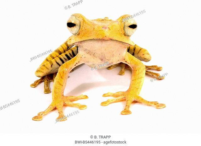 file-eared tree frog, Borneo eared frog, or bony-headed flying frog (Polypedates otilophus), cut out, Indonesia