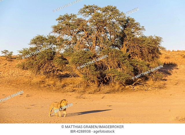 Lion (Panthera leo) crossing a dry riverbed, the Kgalagadi Transfrontier Park, Northern Cape, South Africa