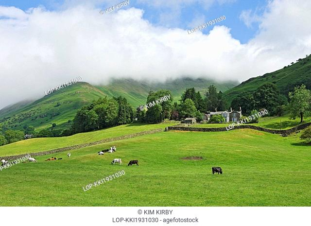 England, Cumbria, near Grasmere. Cows grazing on the slopes of a fell, looking towards Fairfield shrouded in mist