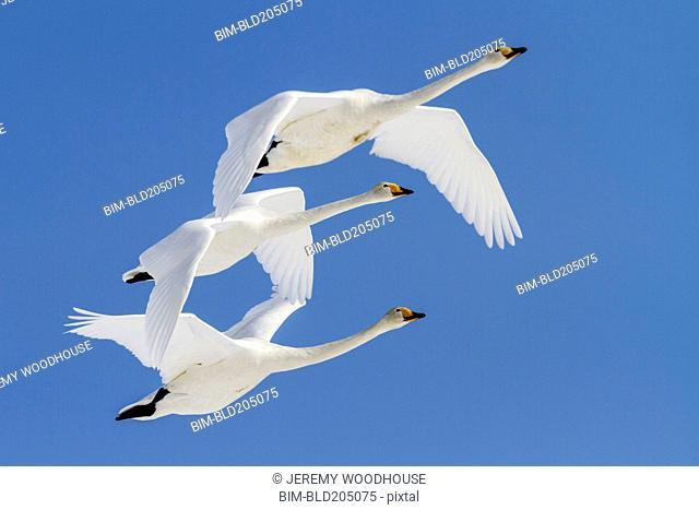 Whooper swans flying in blue sky