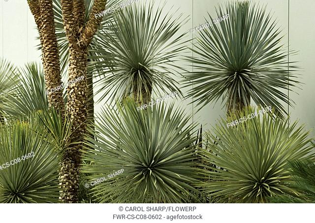 Yucca, Yucca rostrata