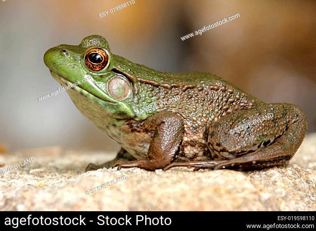 Green Frog (Rana clamitans) on a Rock