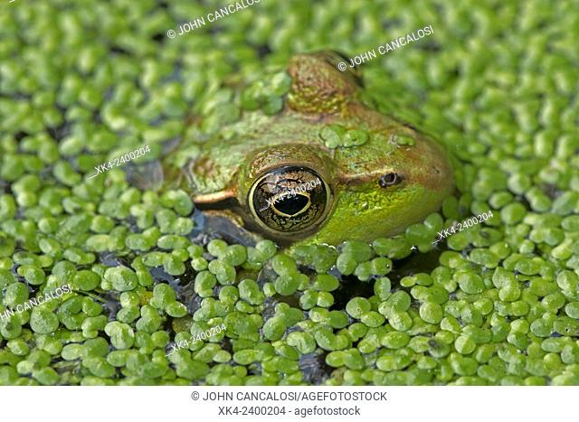 Green frog (Lithobates clamitans), Washington DC, USA
