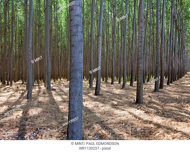 A poplar tree plantation near Pendleton in Umatilla county in Oregon