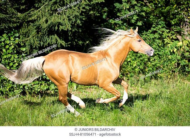 Anglo-Arabian. Palomino stallion galopping on a pasture. Austria